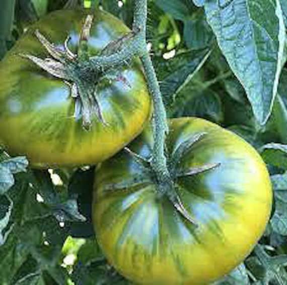 Organic Cherokee Green Tomato
