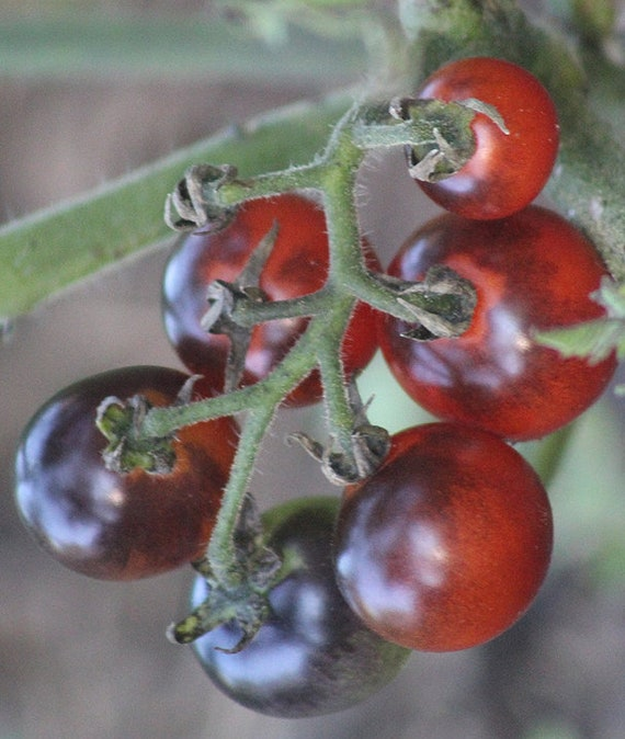 Organic 'Blueberries' Tomato