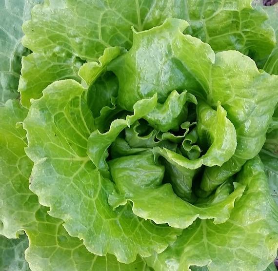 Nevada Lettuce