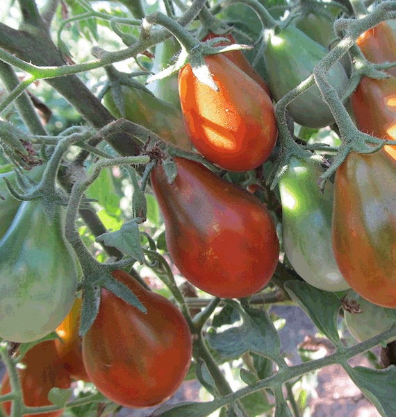 Chocolate Pear Tomato