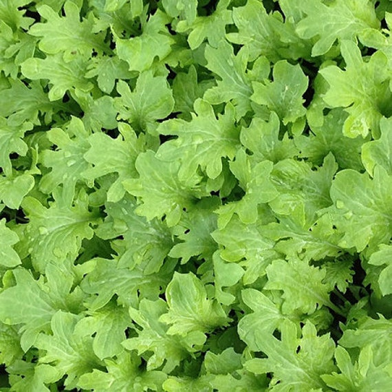 Organic Wasabina Mustard