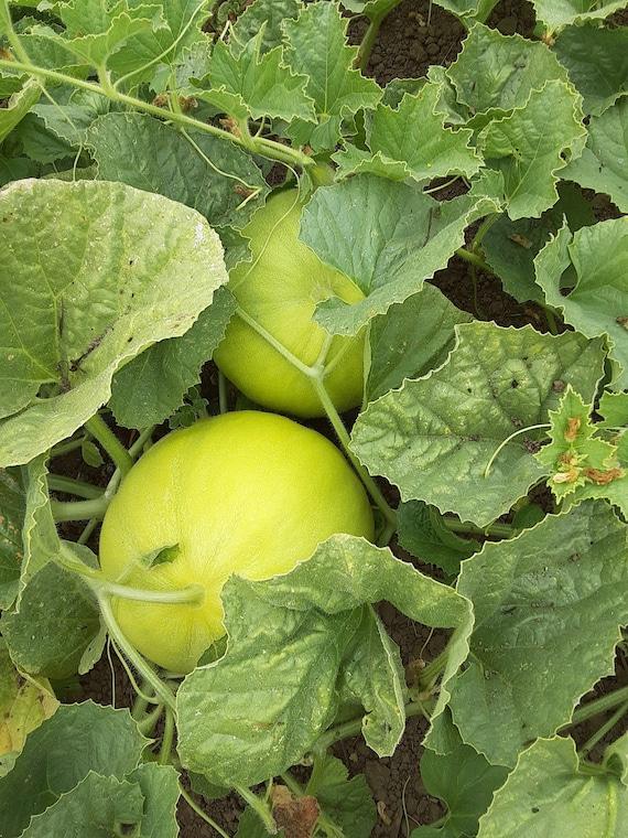 Organic Boule d'Or Melon