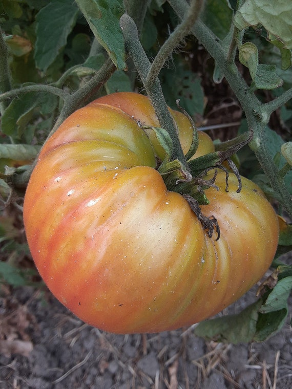 Organic Pineapple Tomato