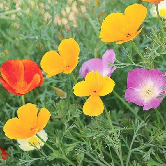 Organic California Poppy Mix