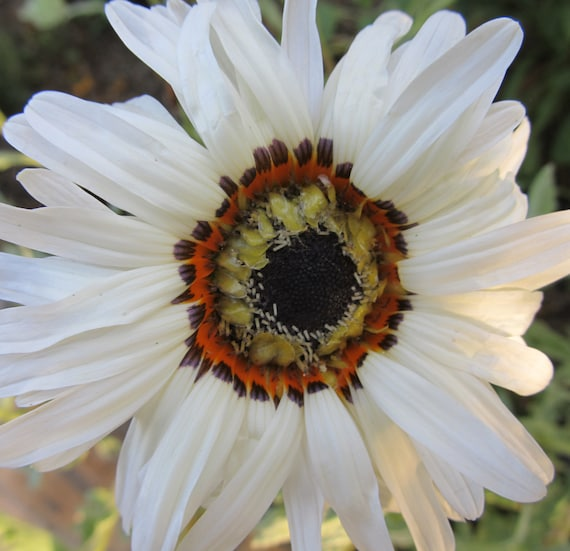 Organic Zulu Prince Daisy