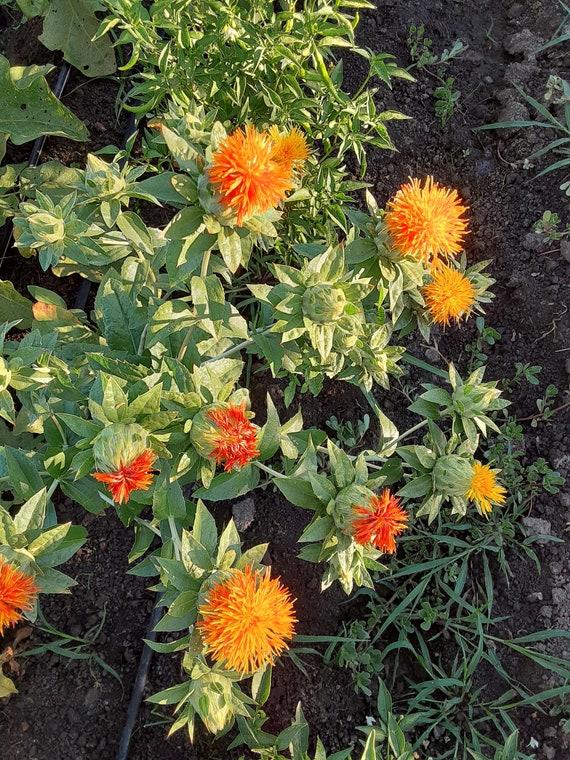 Organic Safflower