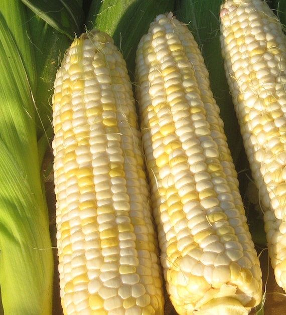 Who Gets Kissed Sweet Corn