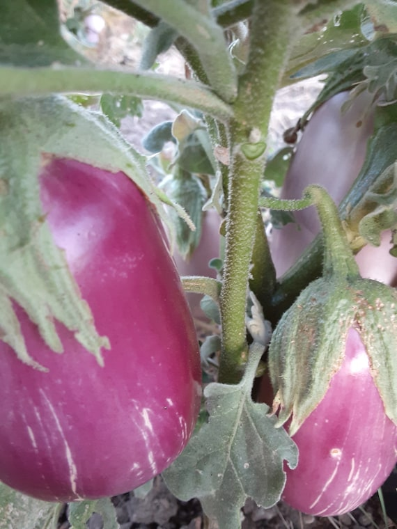 Organic Rosita Eggplant