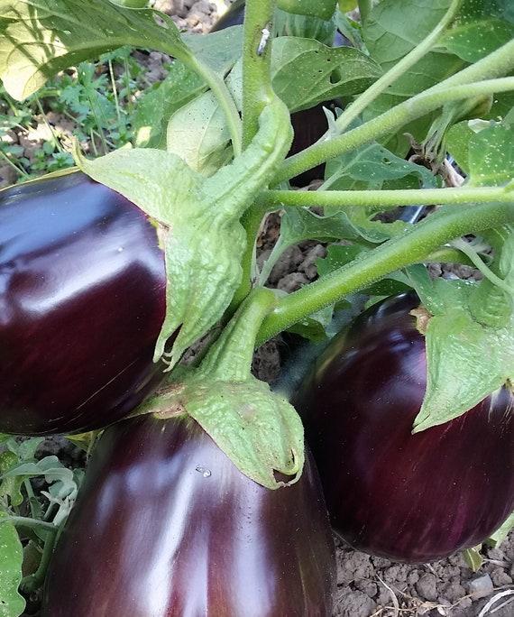 Organic Iraqi Heirloom Aswad Eggplant