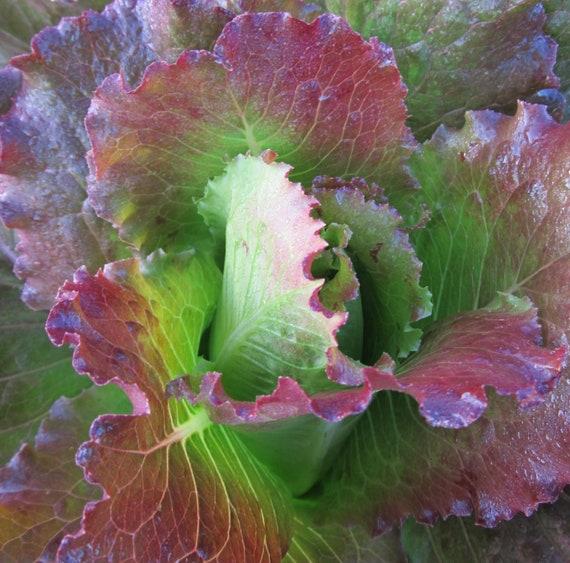 Fever Lettuce
