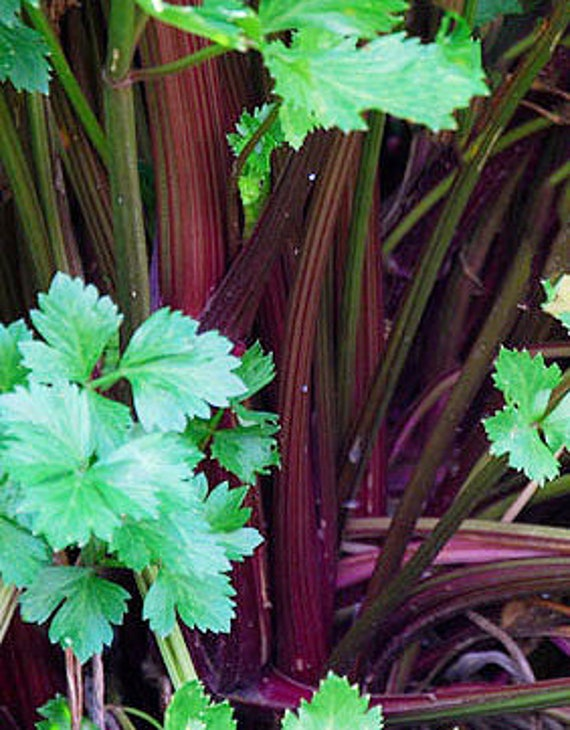 Organic Redventure Celery
