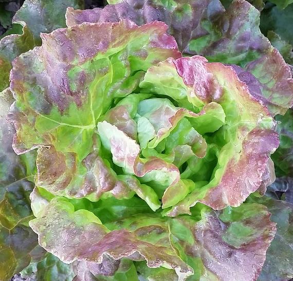 Organic Pirat Lettuce