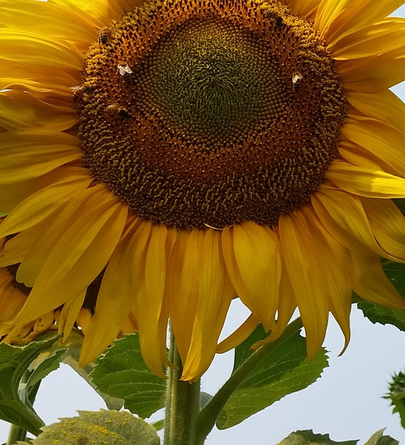 Humongous Sunflower