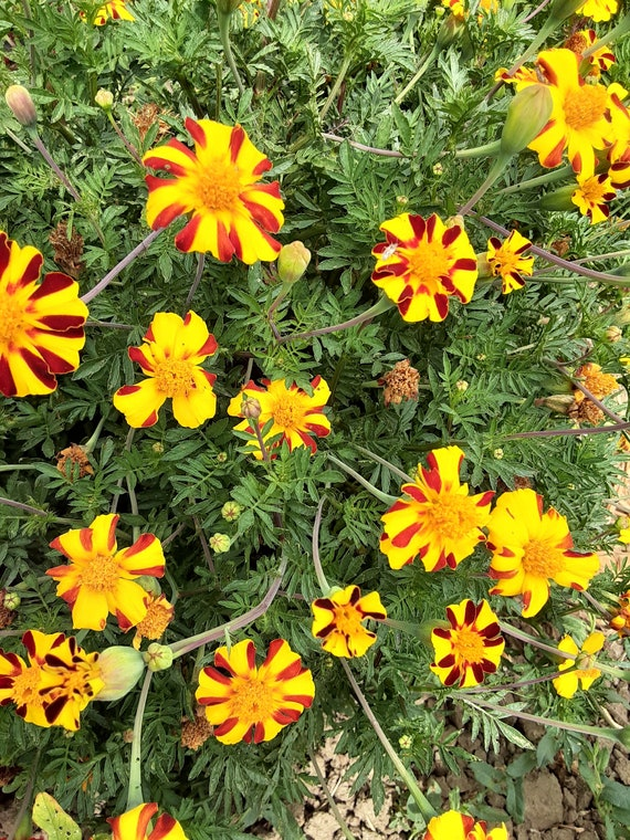 Organic 'Mr. Majestic' Marigold