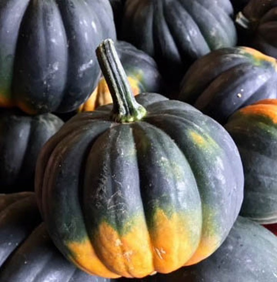 Organic Sweet Reba Acorn Squash