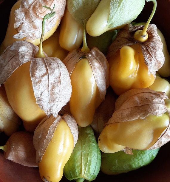 Organic Queen of Malinalco Tomatillo