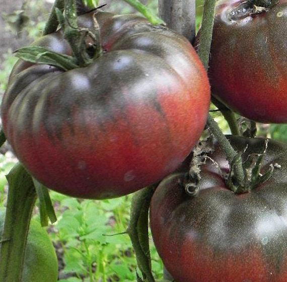 Organic Black Krim Tomato