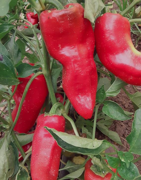 Organic Tolli's Sweet Italian Pepper