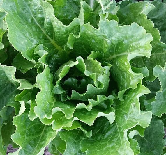 Lettuce: Platonic