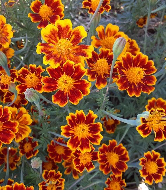 Organic Marigold 'Frances Hoffman's Choice'