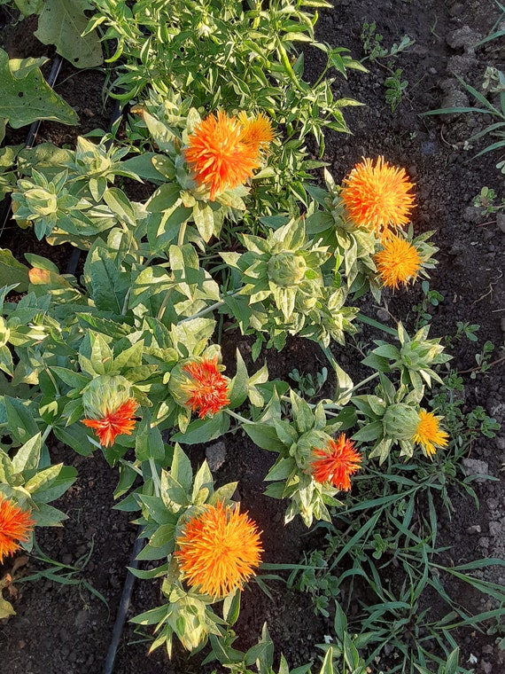 Organic Safflower Seed for Planting