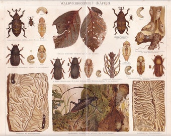 "Lithography, ""Waldverderber I beetle""."