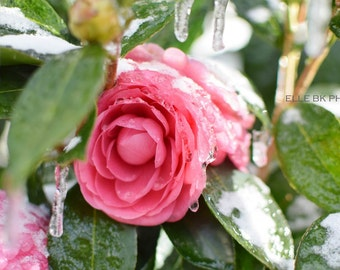 Pink Flower in Ice