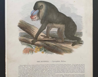 Antique Zoological Lithograph from 1916 A4 FramedUnframed Mandrill Giclee Print