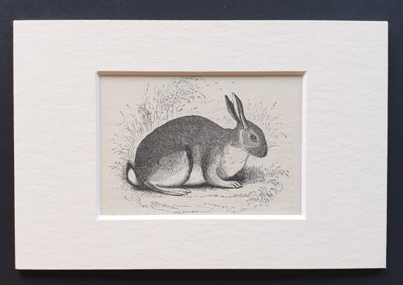 The Rabbit - small Illustrated Natural History print in mount