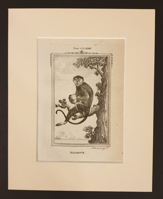 Chinese Bonnet Original 1791 Buffon print in mount