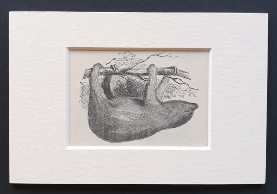 The Three Toed Sloth - small Illustrated Natural History print in mount
