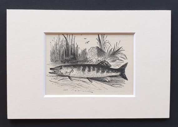 The Pike - small Illustrated Natural History print in mount