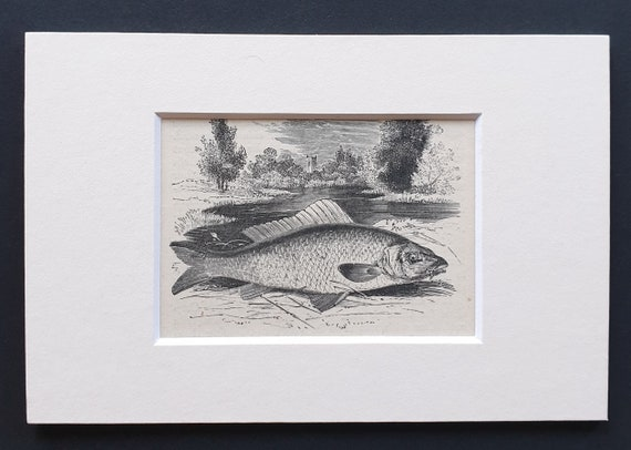 The Common Carp - small Illustrated Natural History print in mount
