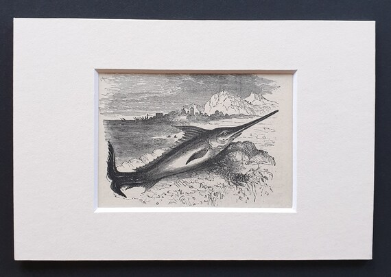 The Sword Fish - small Illustrated Natural History print in mount