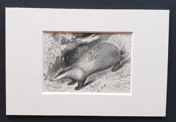 The Badger - small Illustrated Natural History print in mount
