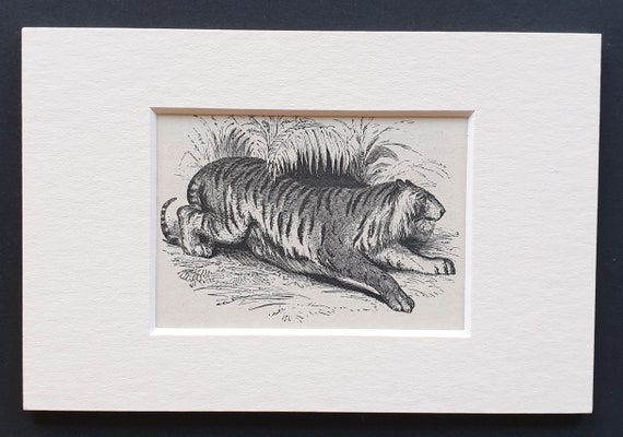 The Tiger - small Illustrated Natural History print in mount