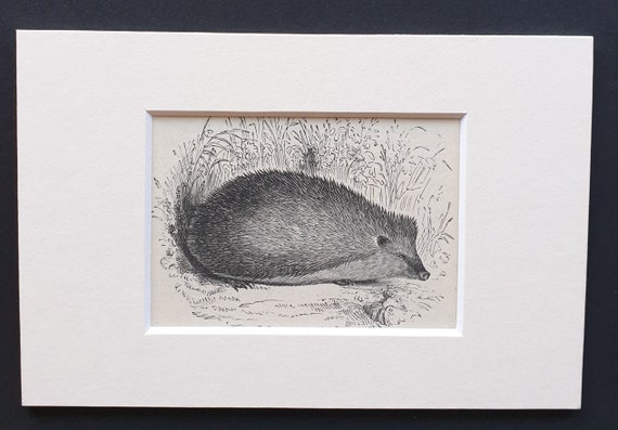The Hedgehog - small Illustrated Natural History print in mount