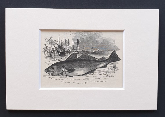 The Codfish - small Illustrated Natural History print in mount
