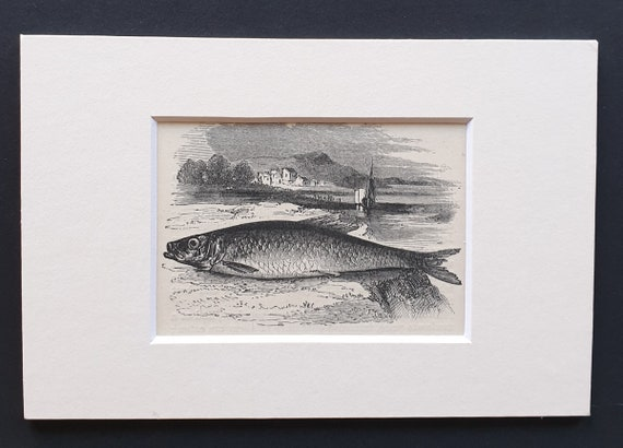 The Herring - small Illustrated Natural History print in mount