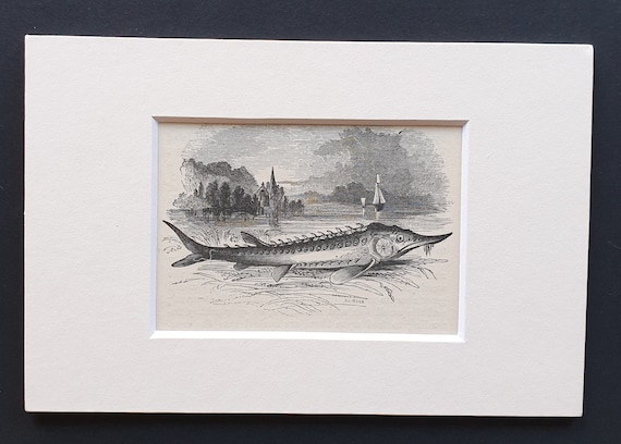 The Sturgeon - small Illustrated Natural History print in mount