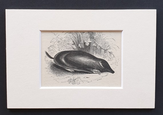 The Mole - small Illustrated Natural History print in mount