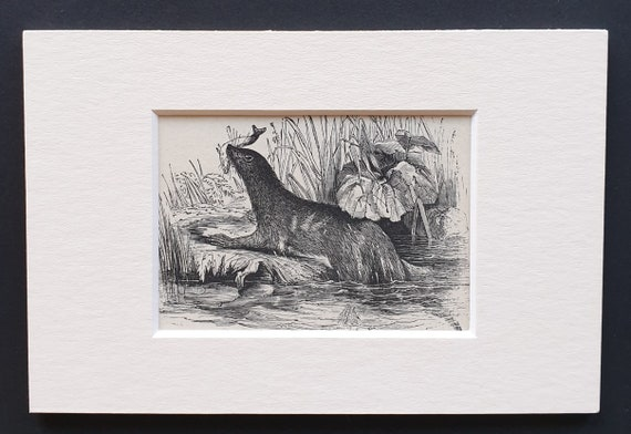 The Otter - small Illustrated Natural History print in mount