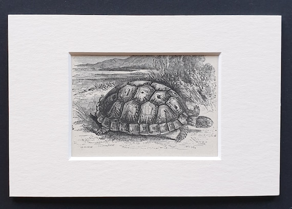 The Common Tortoise - small Illustrated Natural History print in mount