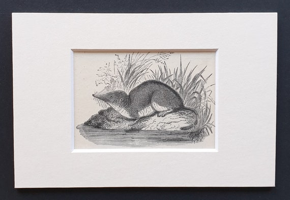 The Shrew - small Illustrated Natural History print in mount