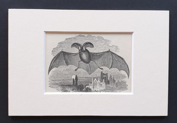 Long Eared Bat - small Illustrated Natural History print in mount