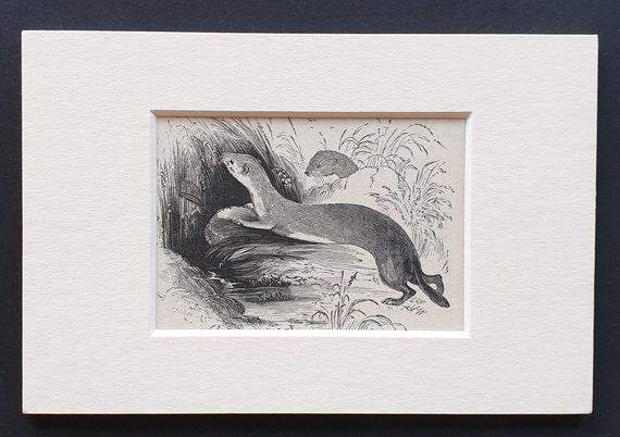 The Common Weasel - small Illustrated Natural History print in mount