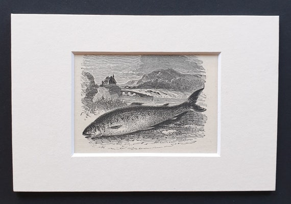 The Salmon - small Illustrated Natural History print in mount