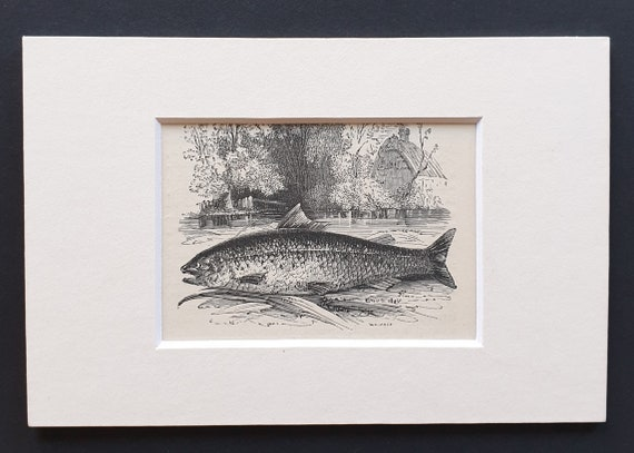 The Common Trout - small Illustrated Natural History print in mount