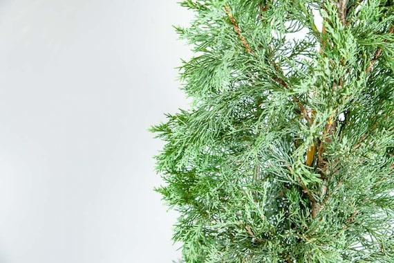 3-4 ft. Size Italian Cypress Live Plant