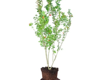 Wonderful Pomegranate Tree: 1 Gallon, Real Pomegranate Fruit